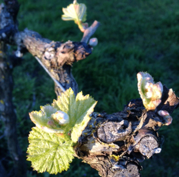 Vine growth underway for the 2019 vintage